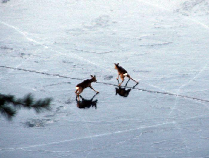 Косули на льду